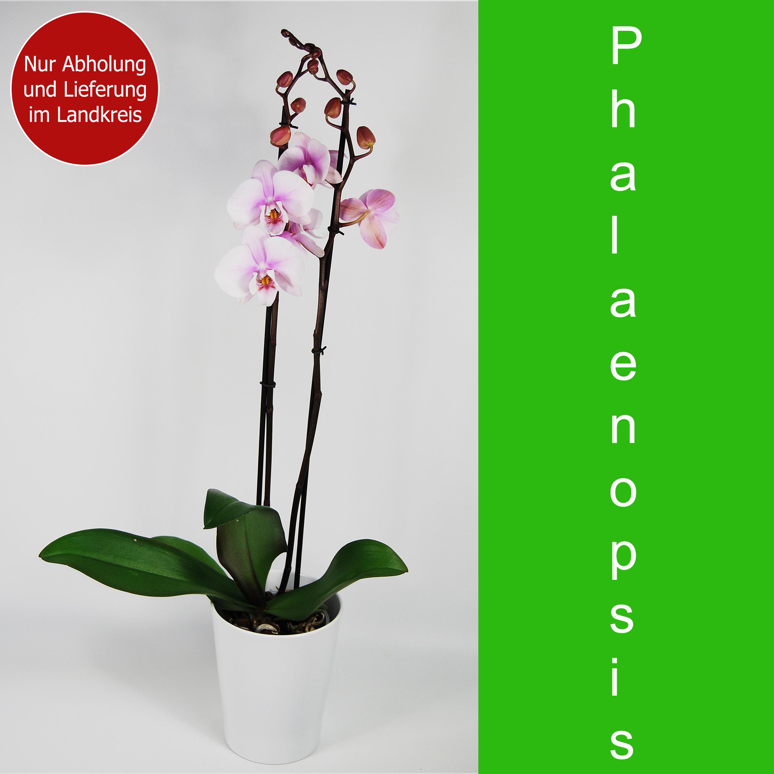 Blumenstrauss Schmetterlingsorchidee rosa