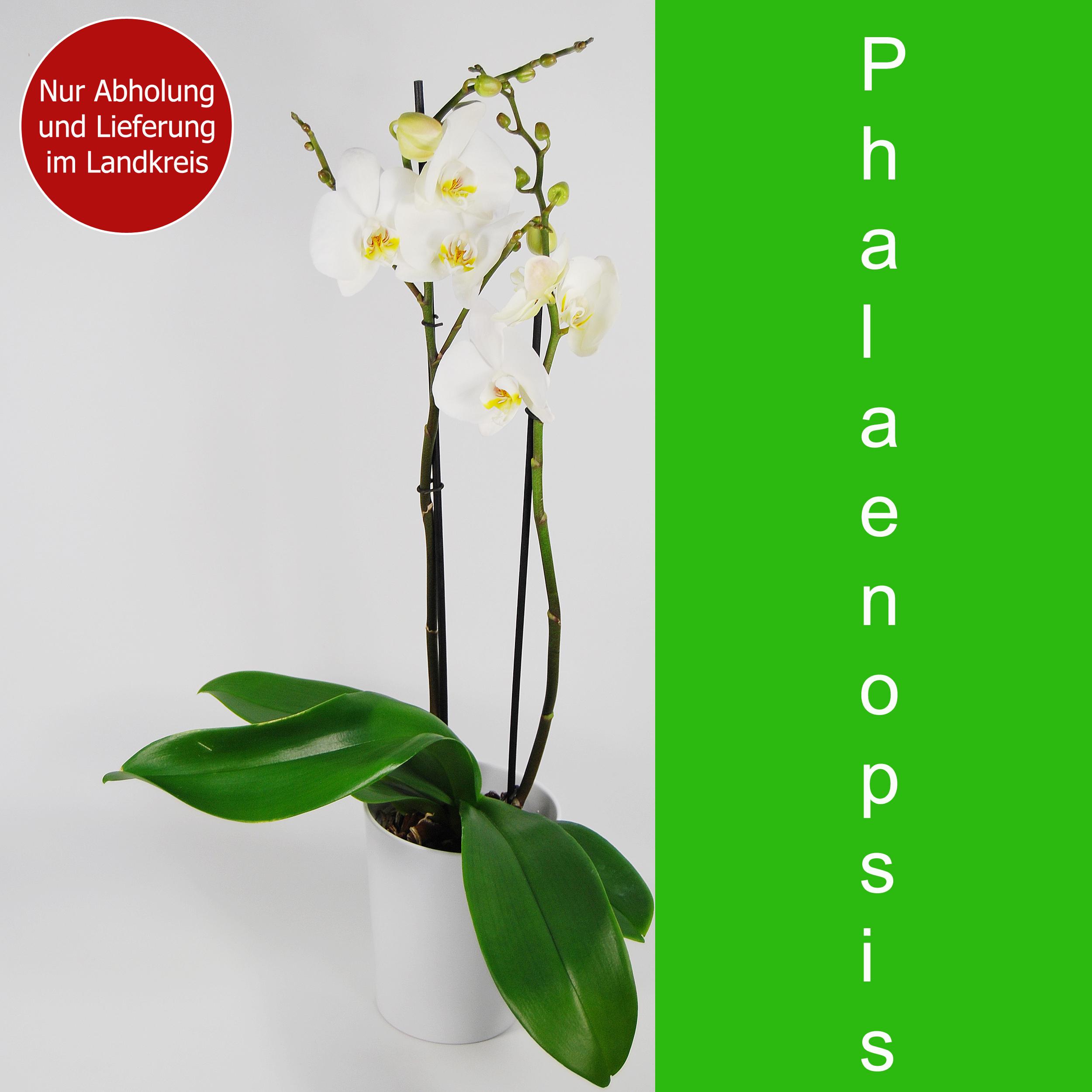 Blumenstrauss Schmetterlingsorchidee weiß